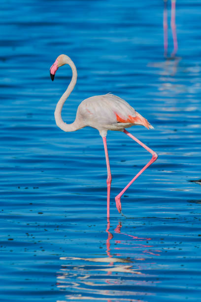Flamingo wading in a lake while on safari in the Serengeti stock photo