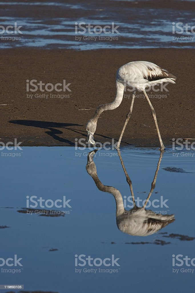 Flamingo with reflection stock photo