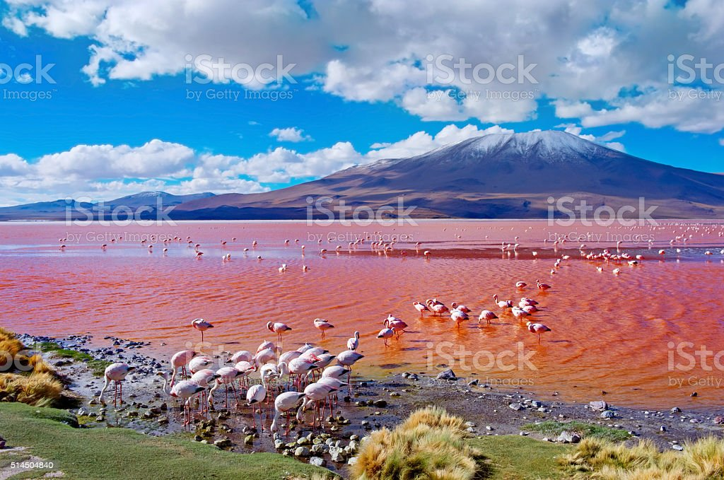flamingoes in laguna colorada bolivia stock photo more pictures of