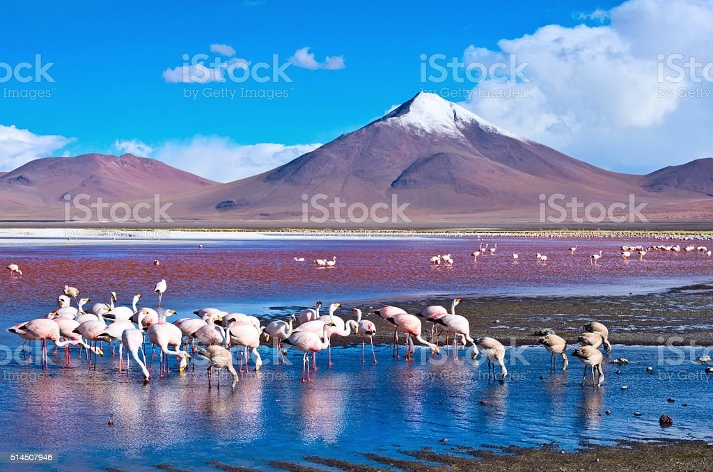 Flamingoes in Laguna Colorada ,  Bolivia stock photo
