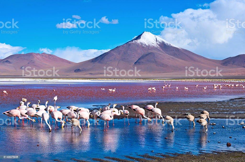 Flamingoes in Laguna Colorada ,  Bolivia stock photo