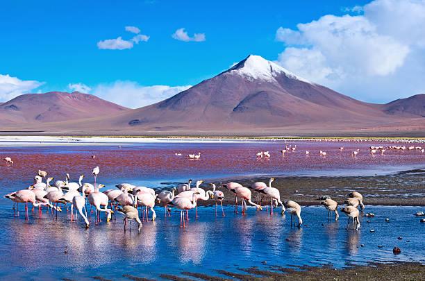 flamingoes in laguna colorada ,  bolivia - 阿爾蒂普拉諾山脈 個照片及圖片檔