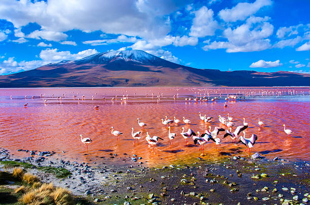 flamingoes in laguna colorada , uyuni, bolivia - 阿爾蒂普拉諾山脈 個照片及圖片檔