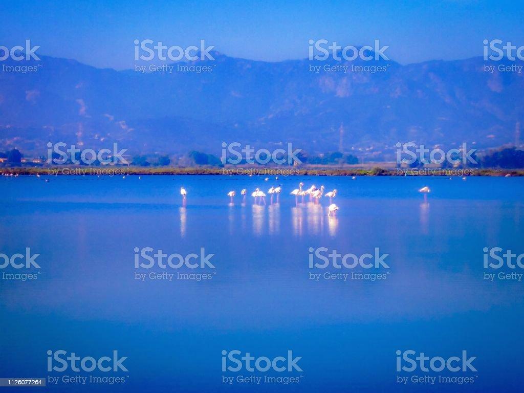 Flamingoes in marshland in Sardinia , Italy stock photo