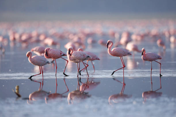 Flamingoes on Lake Nakuru stock photo