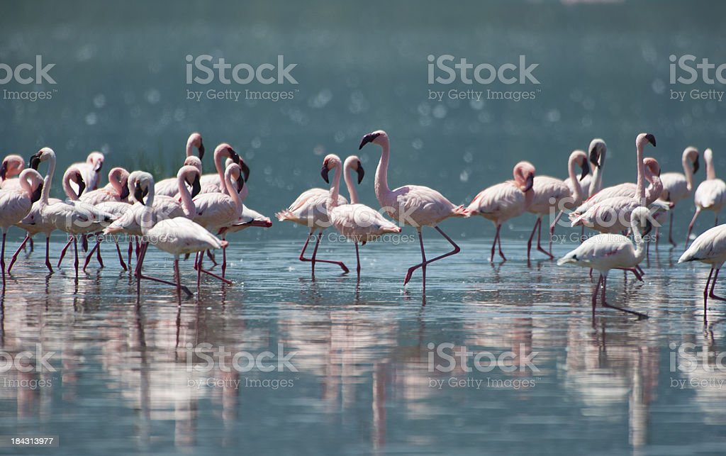Flamingoes royalty-free stock photo