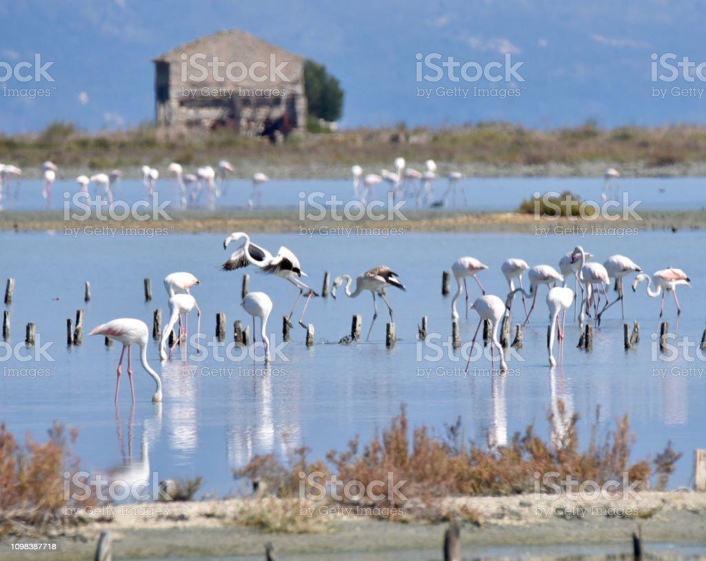 Flamingos Alikes, Corfu, Greece stock photo