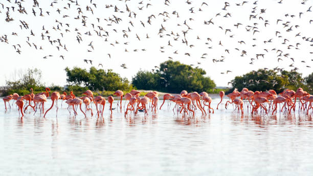 Flamingos and Royal Terns stock photo