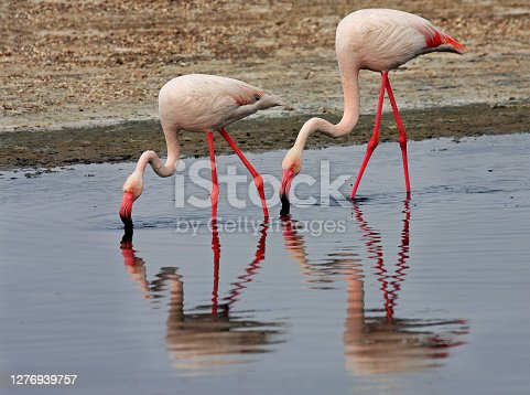 flamingos are pink color in nature