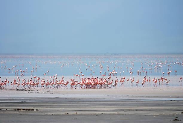 flamingos at lake manyara stock photo