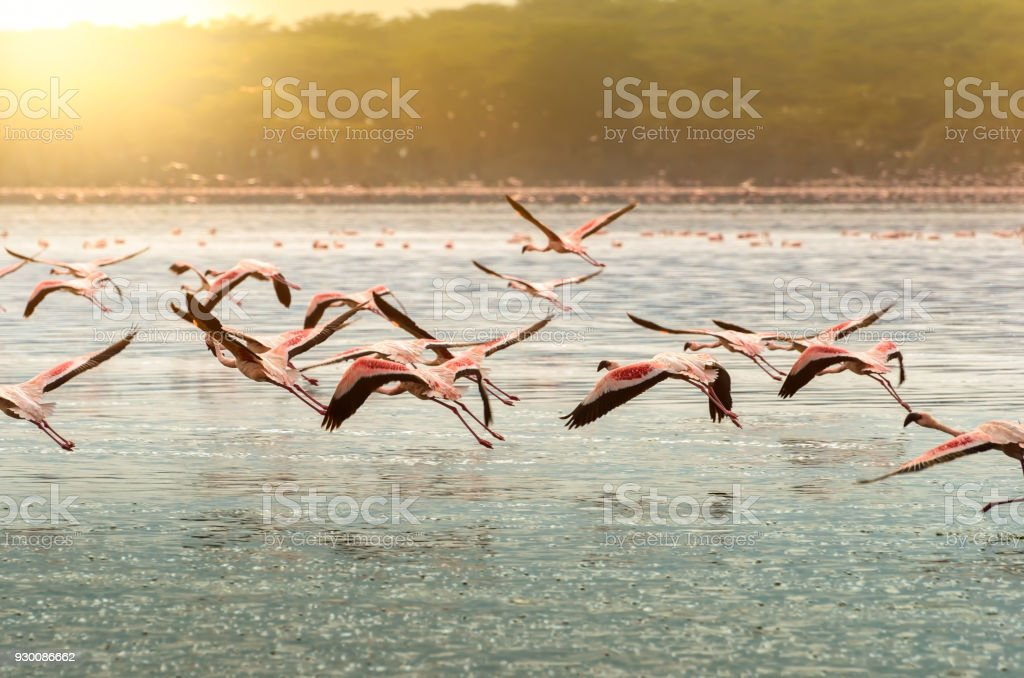 Flamingos at Oloiden Lake, Kenya - foto stock