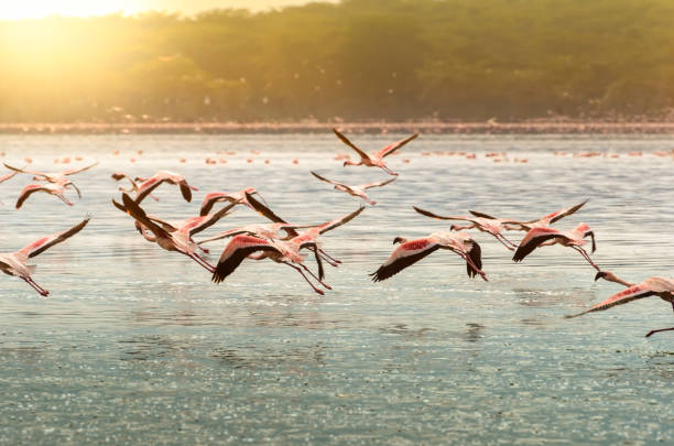flamingo's bij lake oloiden, kenia - ornithologie stockfoto's en -beelden