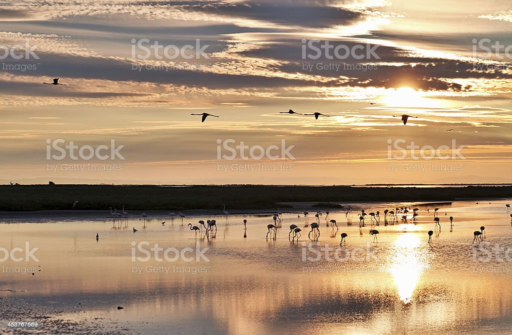 Flamingos at sunrise stock photo