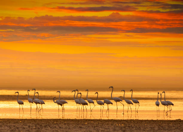 Flamingos at sunset in a lake stock photo
