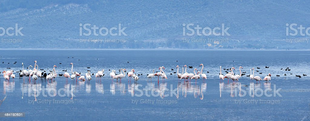 Flamingos - Bafa Lake - Aydin - Turkey royalty-free stock photo