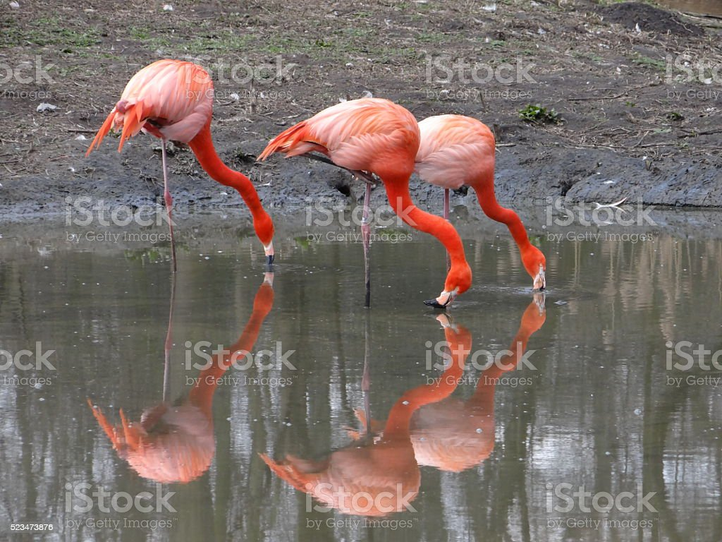 Flamingos drinking water stock photo