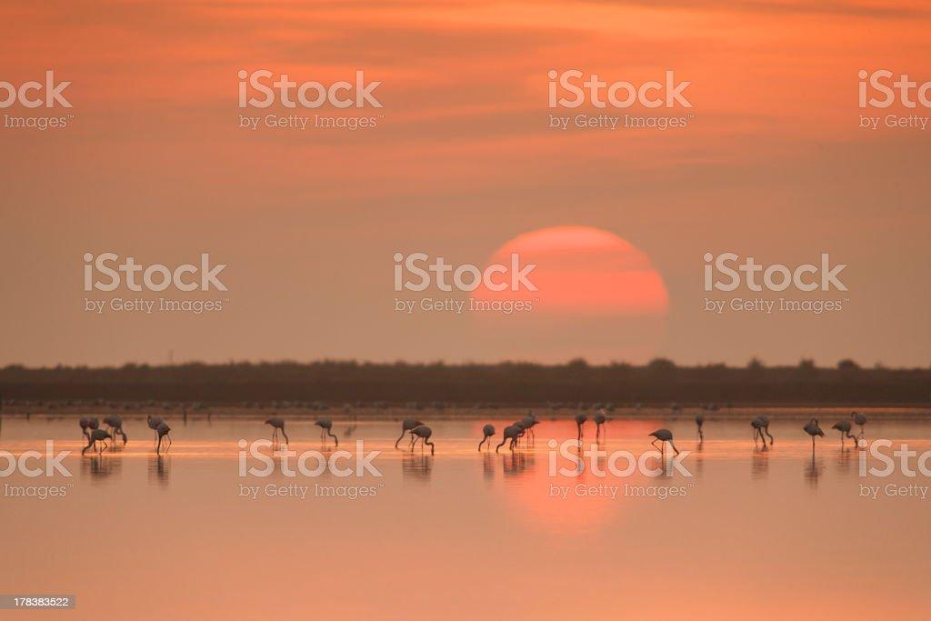 Flamingos Eating At The Beautiful Sunrise stock photo
