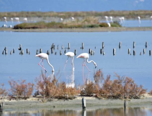 Flamingos feeding stock photo