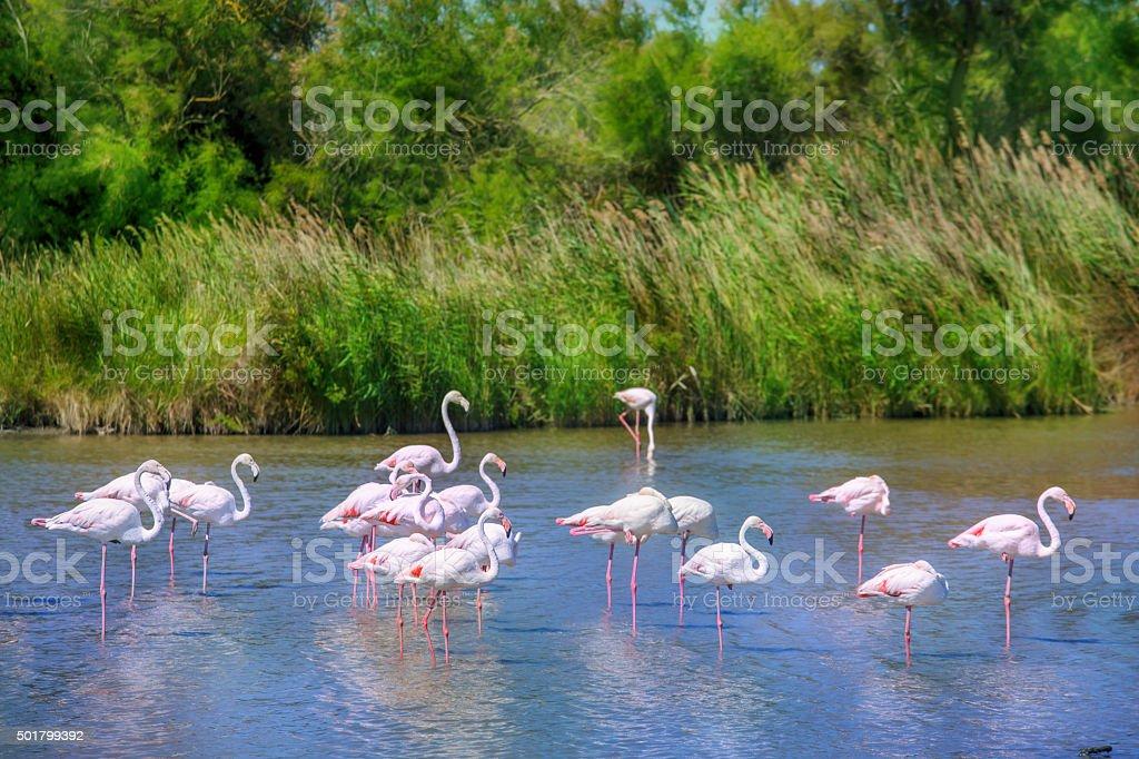 Flamingos flock stock photo