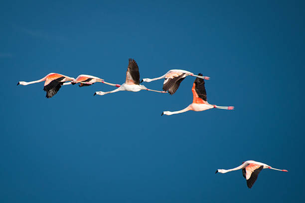 Flamencos volando en el cielo azul oscuro - foto de stock
