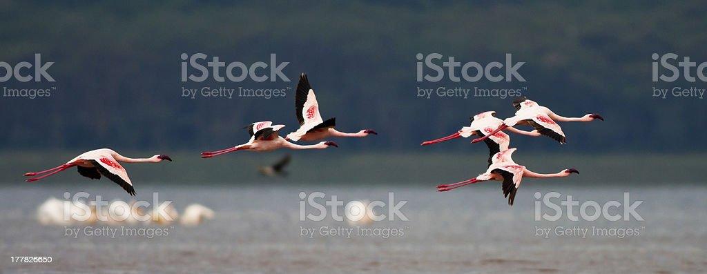 Flamingos flying over Lake Nakuru royalty-free stock photo