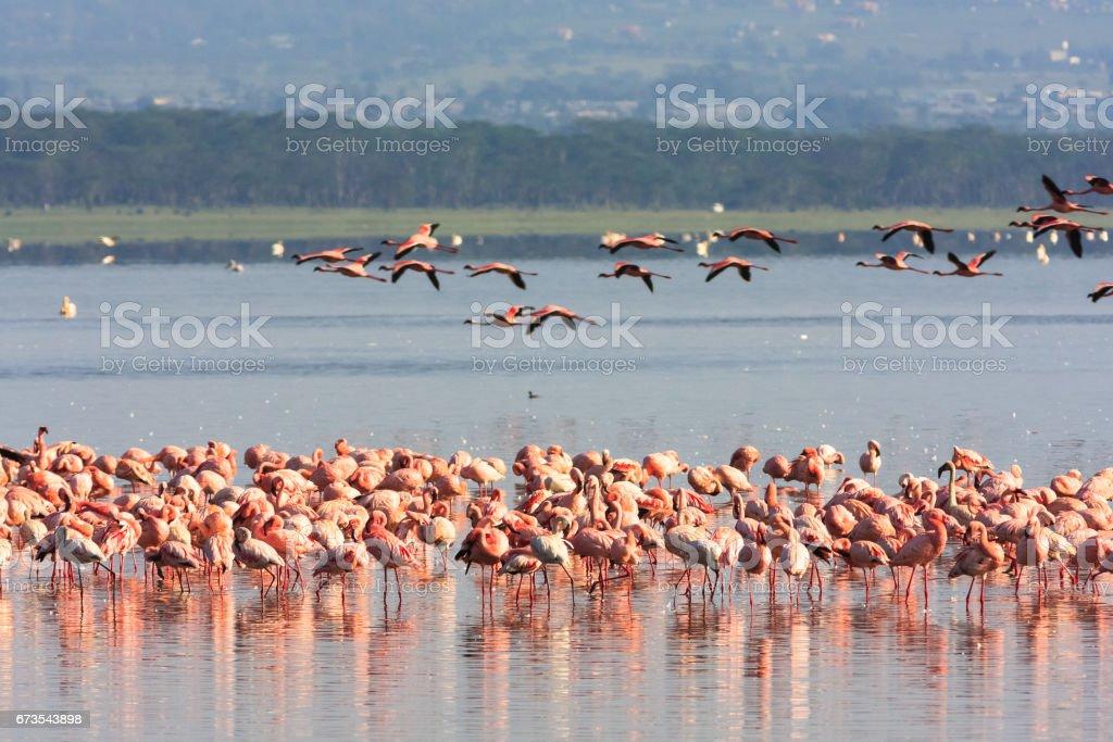 Flamingos from Nakuru. Kenya, Africa royalty-free stock photo