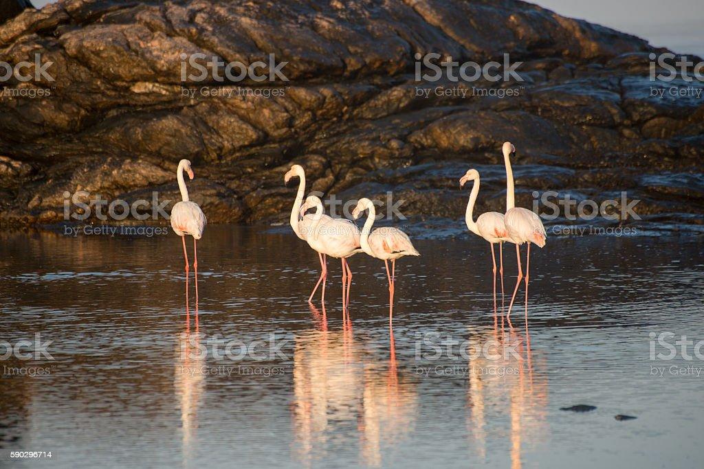 Flamingos in a tidal pool royaltyfri bildbanksbilder