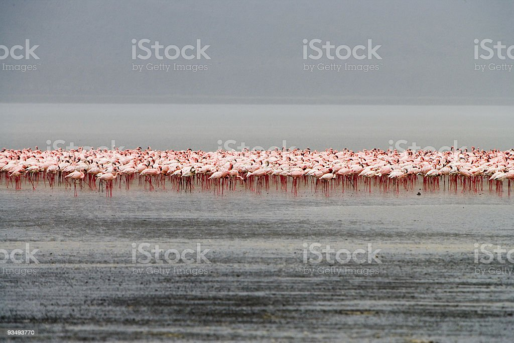 Flamingos in Africa royalty-free stock photo