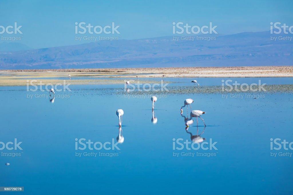 Flamingos in Chaxa lagoon salt lake, Atacama desert, Chile, South America stock photo