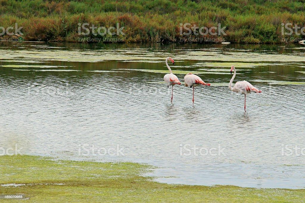 Flamingos in der Camargue stock photo
