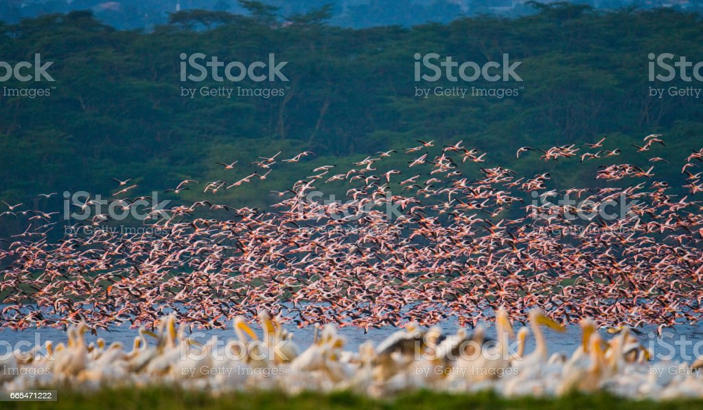 Flamingos in flight. Kenya. Africa. stock photo