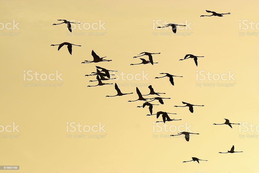 Flamingos in flight royalty-free stock photo