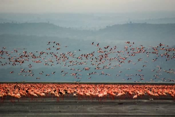 Flamingos in Lake Nakuru, Kenya stock photo