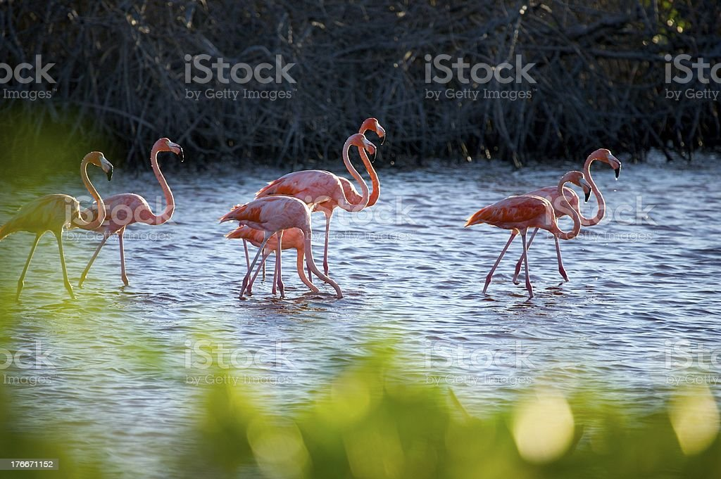 Flamingos in Mangrove royalty-free stock photo