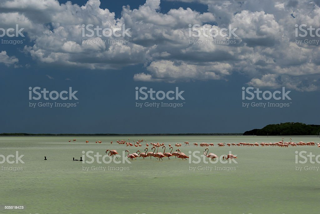 Pink flamingos in shallow green tropical water