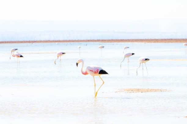 Flamingos in the chaxa lagoon picture id1139403524?b=1&k=6&m=1139403524&s=612x612&w=0&h=fmk1jpo8zxrauxphtmwrvzpnfdmujh72i3h788g9hpm=