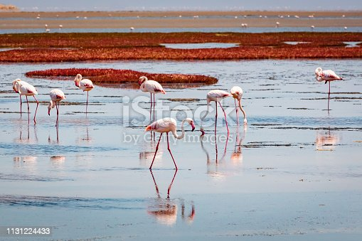A flock of greater flamingos together in a pool along the namib desert close to Walvis Bay - Swakopmund, Namibia, Africa