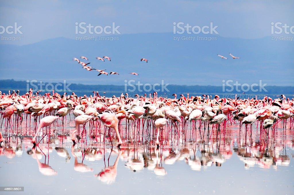 Flamingos in the lake stock photo