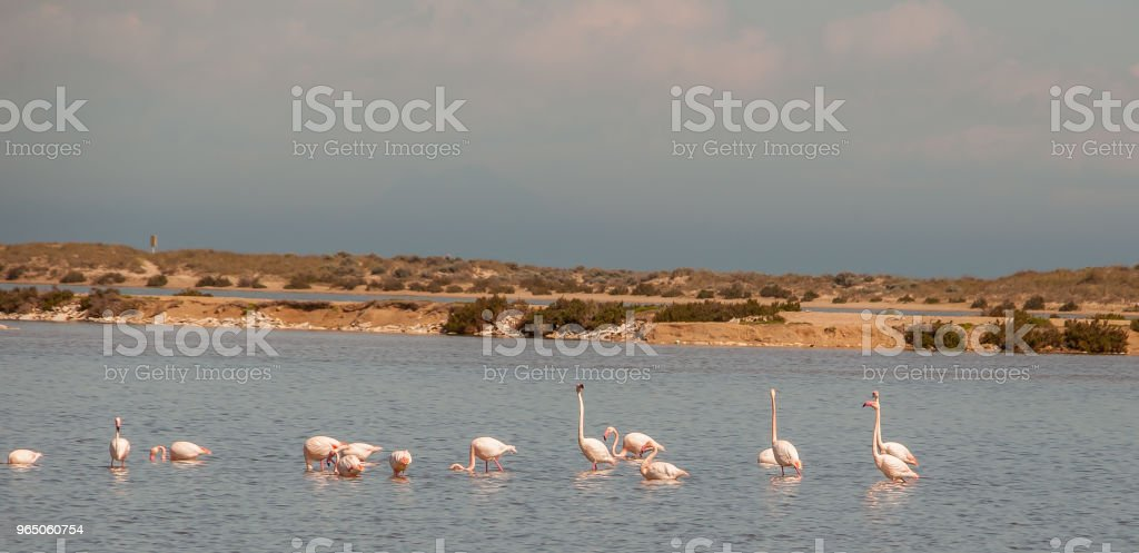 Flamingos in the Mar Menor in Murcia. Spain royalty-free stock photo