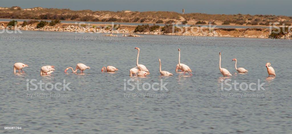 Flamingos in the Mar Menor in Murcia. Spain zbiór zdjęć royalty-free
