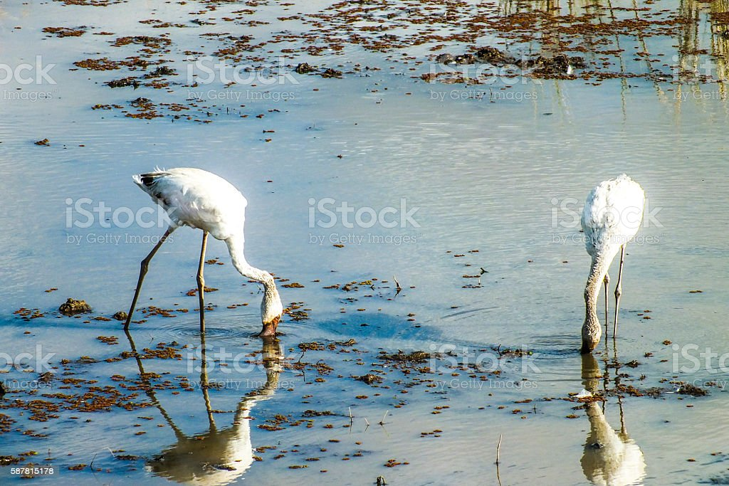 Flamingos in the water stock photo