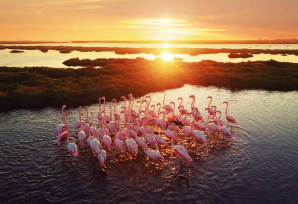 "Flamingos in Wetland During Sunset Izmir, Turkey wildlife or ""wild animal"" stock pictures, royalty-free photos & images"