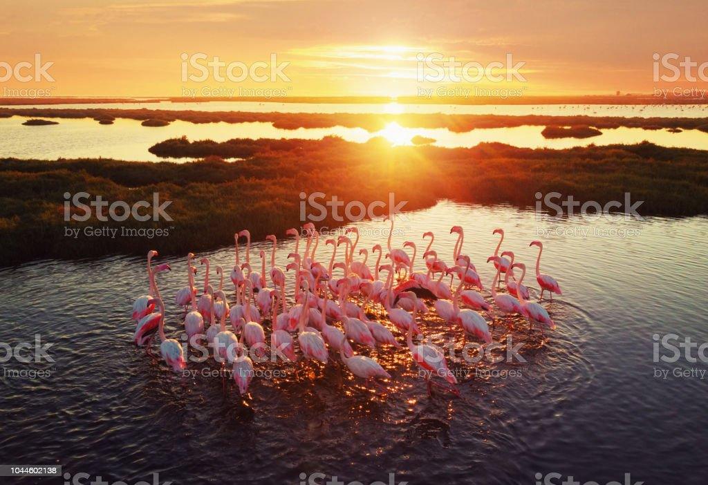 Flamingos in Wetland During Sunset stock photo