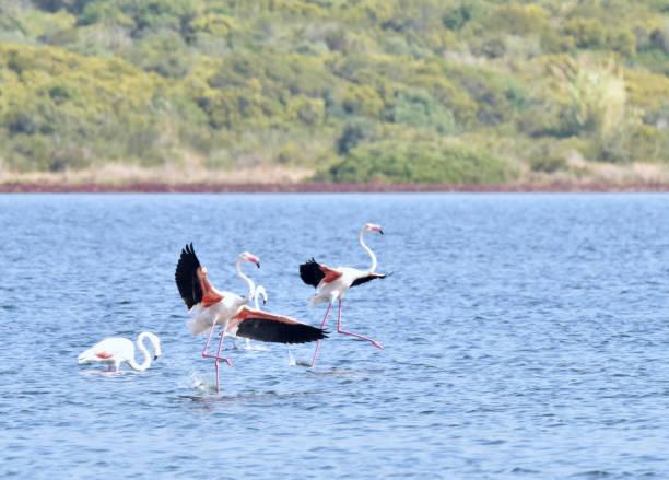 Flamingos Landing stock photo