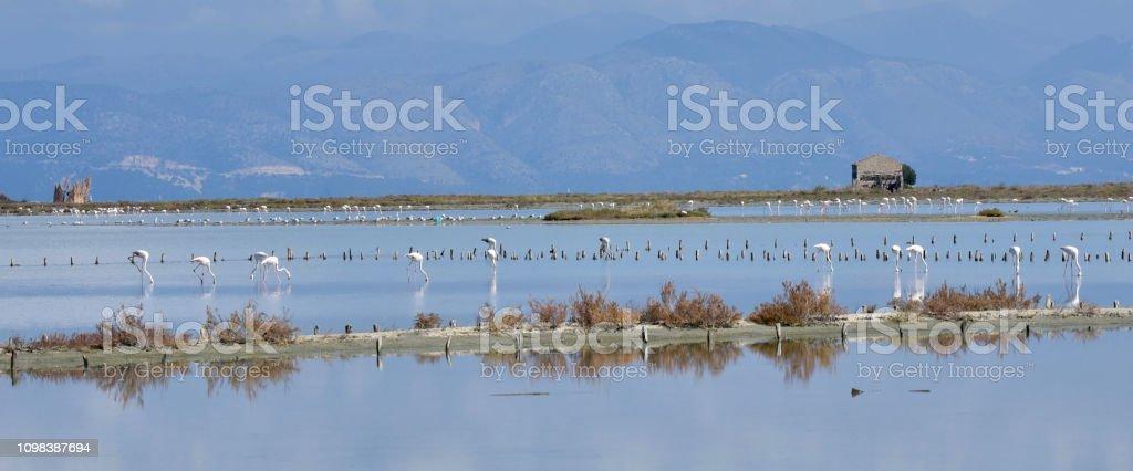 Flamingos near Lefkimmi stock photo