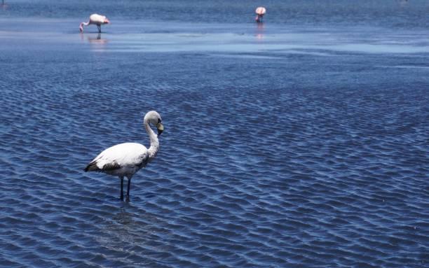 Flamingos of the Uyunu salar in Bolivia stock photo