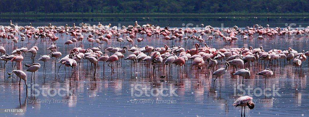 Flamingos on Lake Nakuru royalty-free stock photo
