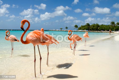 Flamingos standing close to the sea on a beach in Aruba.