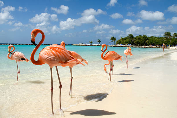 flamingos on the beach - caribbean stock pictures, royalty-free photos & images
