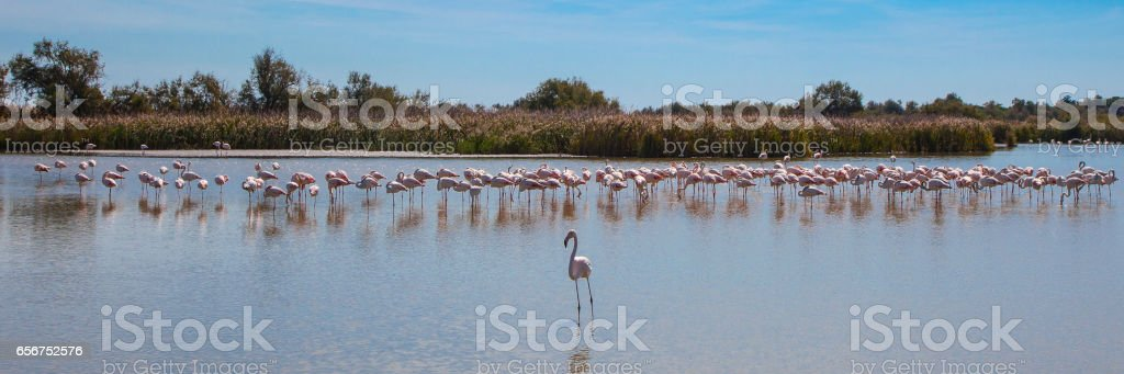Flamingos panoramic stock photo